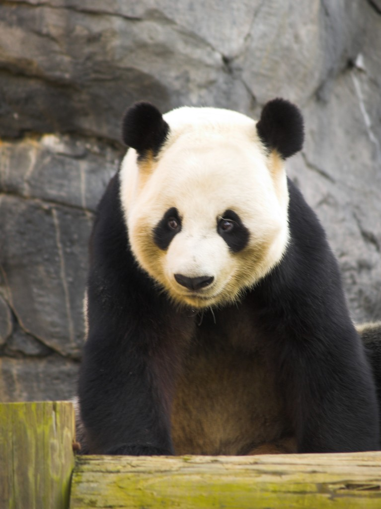 By Tim - Flickr: Zoo Atlanta Panda 2, CC BY 2.0, https://commons.wikimedia.org/w/index.php?curid=16442890